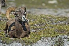 Ritratto delle pecore del Big Horn mentre esaminandovi Fotografia Stock Libera da Diritti