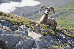 Ritratto delle pecore del Big Horn mentre esaminandovi Immagini Stock Libere da Diritti