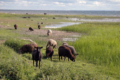 Ritratto delle pecore del Brown Immagine Stock Libera da Diritti