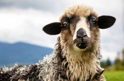 Ritratto delle pecore divertenti che esaminano macchina fotografica fotografia stock libera da diritti