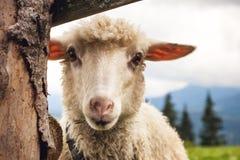 Ritratto delle pecore divertenti che esaminano macchina fotografica fotografie stock