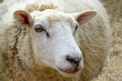 Ritratto delle pecore domestiche sul pascolo Fotografia Stock Libera da Diritti