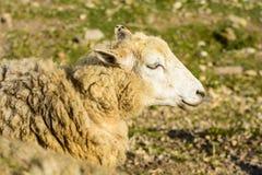 Ritratto delle pecore domestiche sul pascolo al tramonto Immagine Stock Libera da Diritti