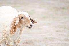 Ritratto delle pecore su un campo Fotografia Stock Libera da Diritti