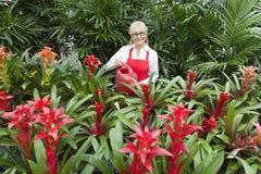 Ritratto delle piante di innaffiatura senior felici del fiorista in serra Fotografie Stock Libere da Diritti