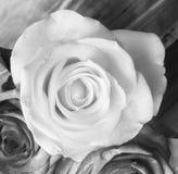 Ritratto delle rose Fotografie Stock