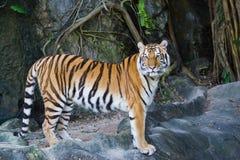 Ritratto delle tigri dell'Amur immagine stock