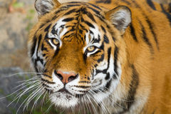 Ritratto delle tigri dell'Amur immagini stock