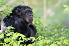 Ritratto dello scimpanzè Fotografie Stock