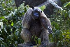 ritratto dello scimpanzè nella giungla Immagini Stock