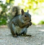 Ritratto dello scoiattolo Fotografie Stock Libere da Diritti