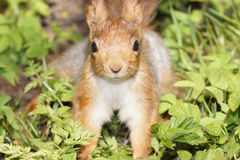Ritratto dello scoiattolo rosso sveglio sull'erba Immagine Stock Libera da Diritti