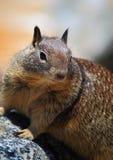 Ritratto dello scoiattolo a terra Fotografia Stock