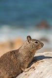 Ritratto dello scoiattolo a terra di California Immagine Stock Libera da Diritti
