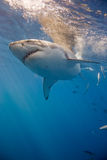 Ritratto dello squalo bianco fotografia stock libera da diritti