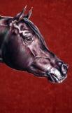 Ritratto dello stallion arabo Fotografie Stock Libere da Diritti