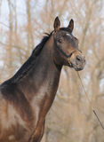 Ritratto dello stallion di Akhal-teke Fotografia Stock