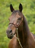 Ritratto dello stallion nero. Fotografia Stock