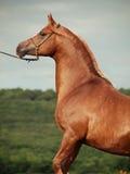 Ritratto dello stallone arabo della castagna alla parte posteriore Immagini Stock