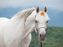 Ritratto dello stallone arabo stupefacente bianco con il fiore arancio fotografia stock