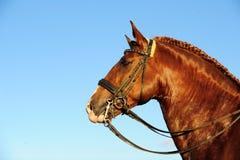 Ritratto dello stallone di Lusitano Fotografia Stock