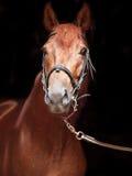 Ritratto dello stallone di Trakehner dell'acetosa su fondo nero Fotografia Stock