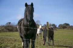Ritratto dello stallone nero con i cavalli nel fondo Immagini Stock Libere da Diritti