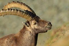 Ritratto dello stambecco alpino del corno, capra ibex, con le rocce nel fondo, parco nazionale Gran Paradiso, Italia Fotografia Stock