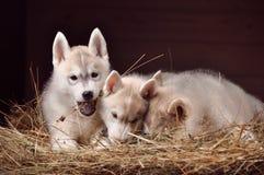 Ritratto dello studio dei cuccioli del cane tre del husky siberiano in un fieno Immagine Stock Libera da Diritti