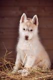 Ritratto dello studio del cucciolo del cane del husky siberiano in un fieno Fotografie Stock