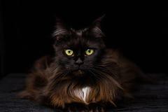 Ritratto dello studio di bella Maine Coon Cat Fotografia Stock Libera da Diritti