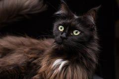 Ritratto dello studio di bella Maine Coon Cat Fotografie Stock