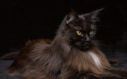 Ritratto dello studio di bella Maine Coon Cat Immagini Stock Libere da Diritti