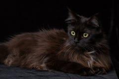 Ritratto dello studio di bella Maine Coon Cat Fotografie Stock Libere da Diritti