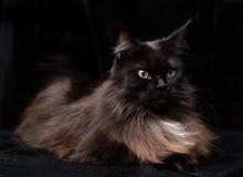Ritratto dello studio di bella Maine Coon Cat Immagine Stock