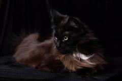 Ritratto dello studio di bella Maine Coon Cat Immagini Stock