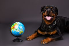 Ritratto dello studio di rottweiler con il globo Fotografia Stock