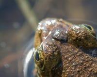 Ritratto dettagliato del primo piano di una testa della rana verde e degli occhi - prospettiva superiore del basso - in governato immagine stock
