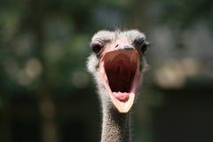 ritratto di #1.Ostrich. Immagini Stock