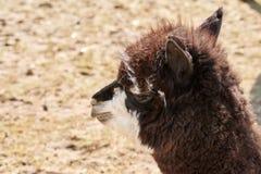 Ritratto di alpaga marrone nel campo in primavera Fotografia Stock Libera da Diritti