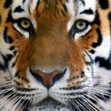 Ritratto di altaica del Tigri della panthera della tigre dell'Amur Immagini Stock