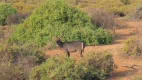 Ritratto di antilope selvaggia Waterbuck che esamina la macchina fotografica nel Samburu africano archivi video