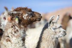 Ritratto di bei lama, Bolivia Fotografia Stock