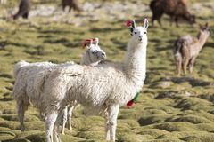 Ritratto di bei lama, Bolivia Immagine Stock Libera da Diritti