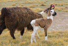 Ritratto di bei lama, Bolivia Immagini Stock