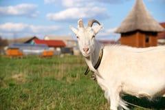 Ritratto di bella capra bianca con i corni, esaminante la macchina fotografica su un fondo di erba verde immagine stock libera da diritti