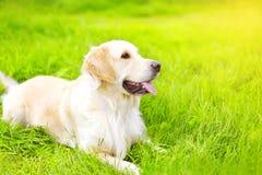 Ritratto di bella menzogne del cane di golden retriever Fotografia Stock Libera da Diritti