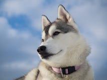 Ritratto di bello cane husky Fotografie Stock Libere da Diritti
