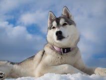 Ritratto di bello cane husky Immagine Stock