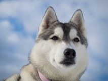 Ritratto di bello cane husky Fotografia Stock Libera da Diritti